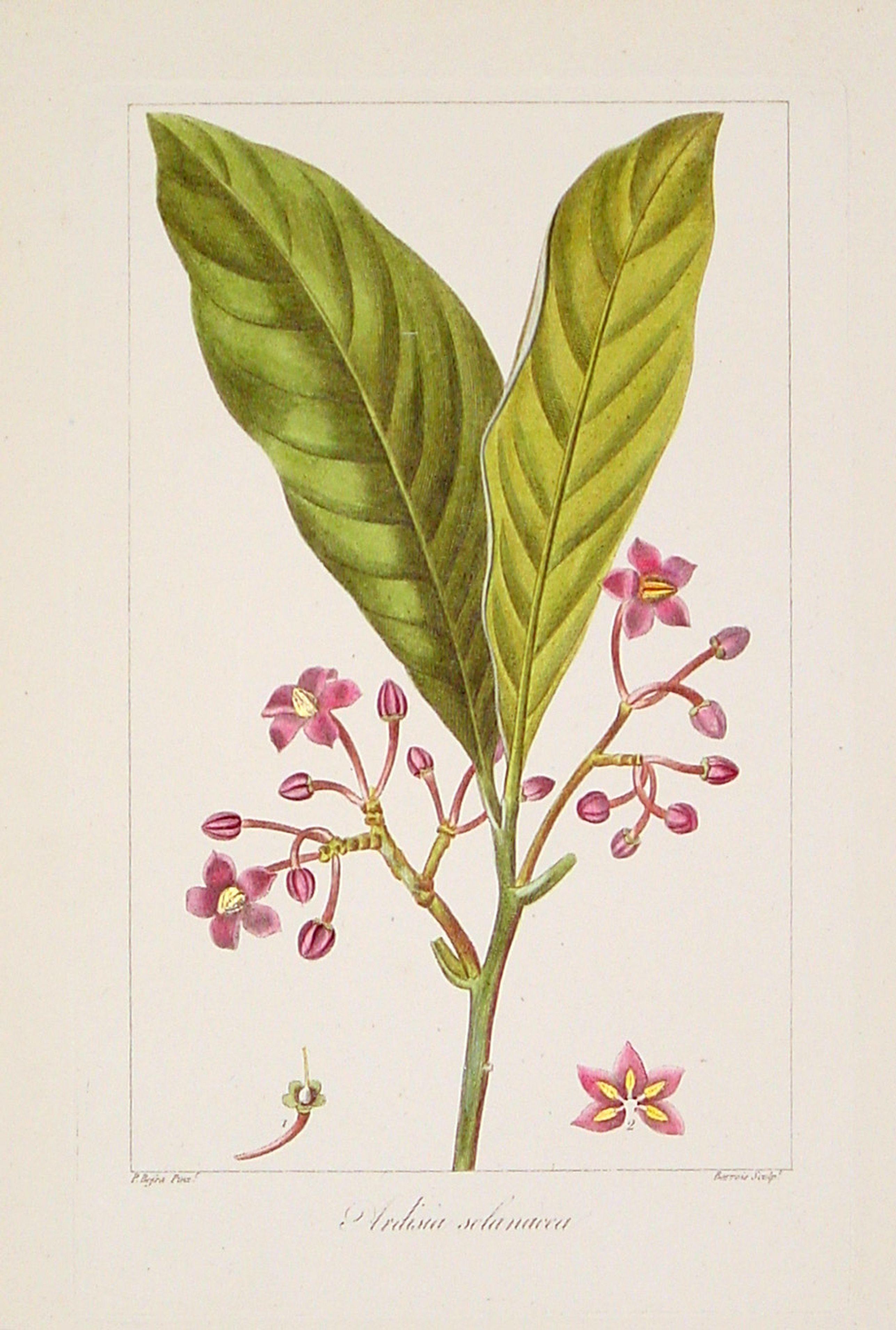 MORDANT DE LAUNAY, J.C.M. -  Ardsia solanacea.