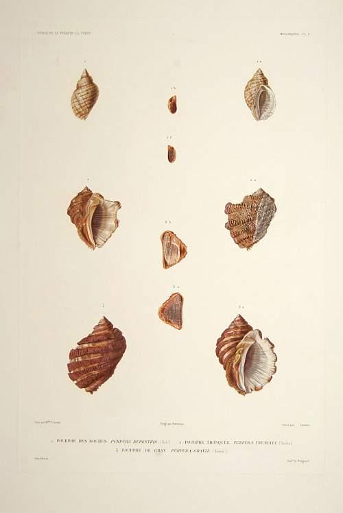 DUMONT d'URVILLE, J. -  [Shells] Planche 9.