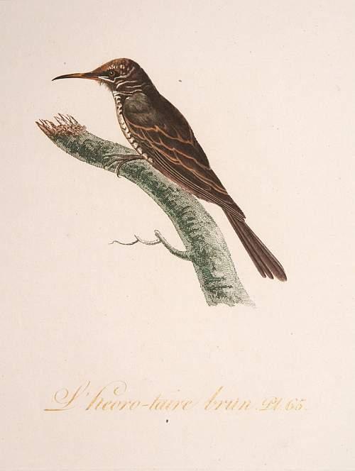 AUDEBER, J.B. / VIEILLOT, L.J.P. -  L'Heoro-taire brun. Pl.65.