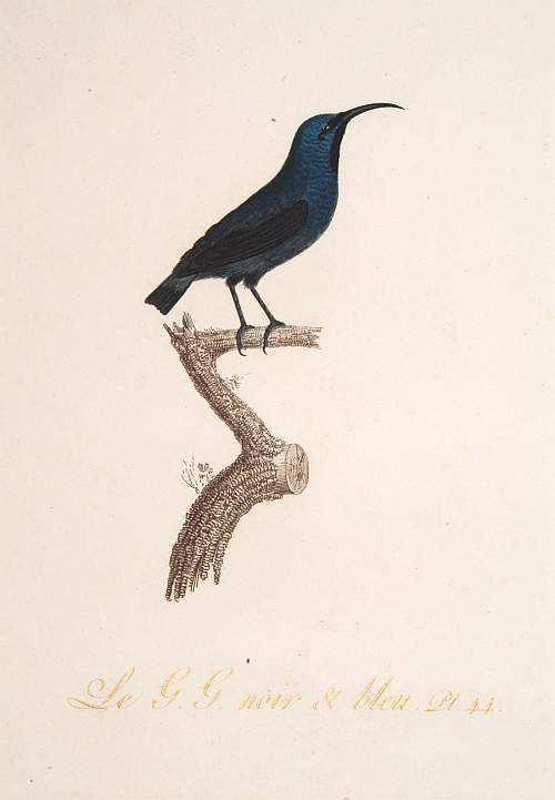 AUDEBER, J.B. / VIEILLOT,L.J.P. -  Le G. G. Noir et Bleu.