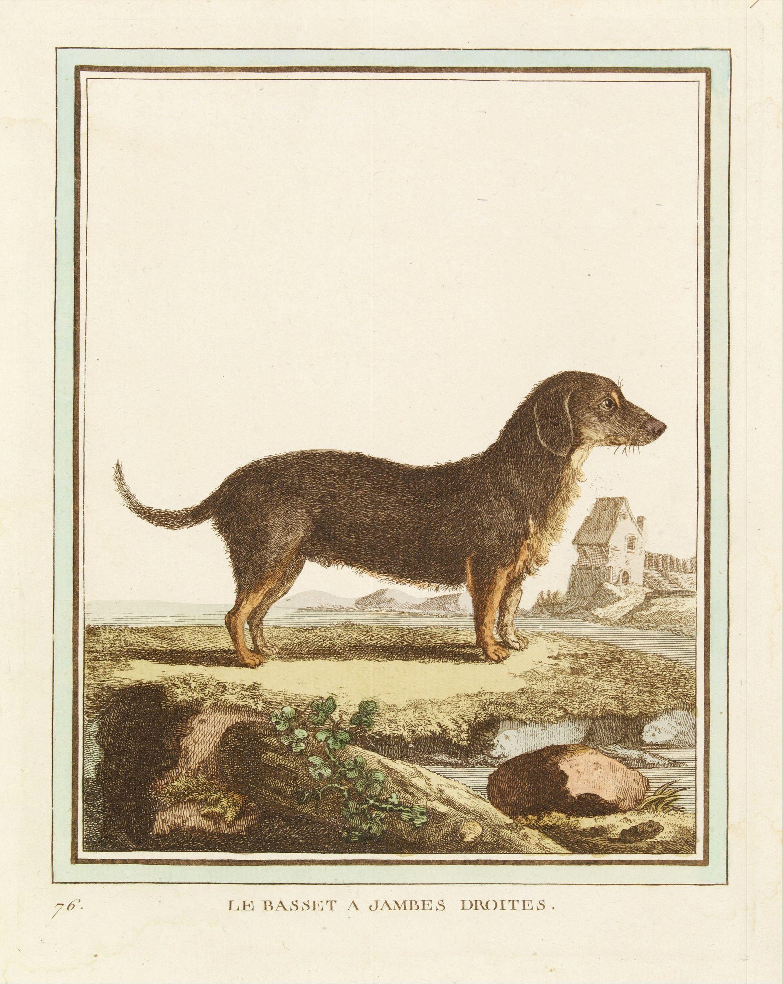 DE SÈVE, After Jacques (active 1742-1788) -  Le Basset à jambes droites.