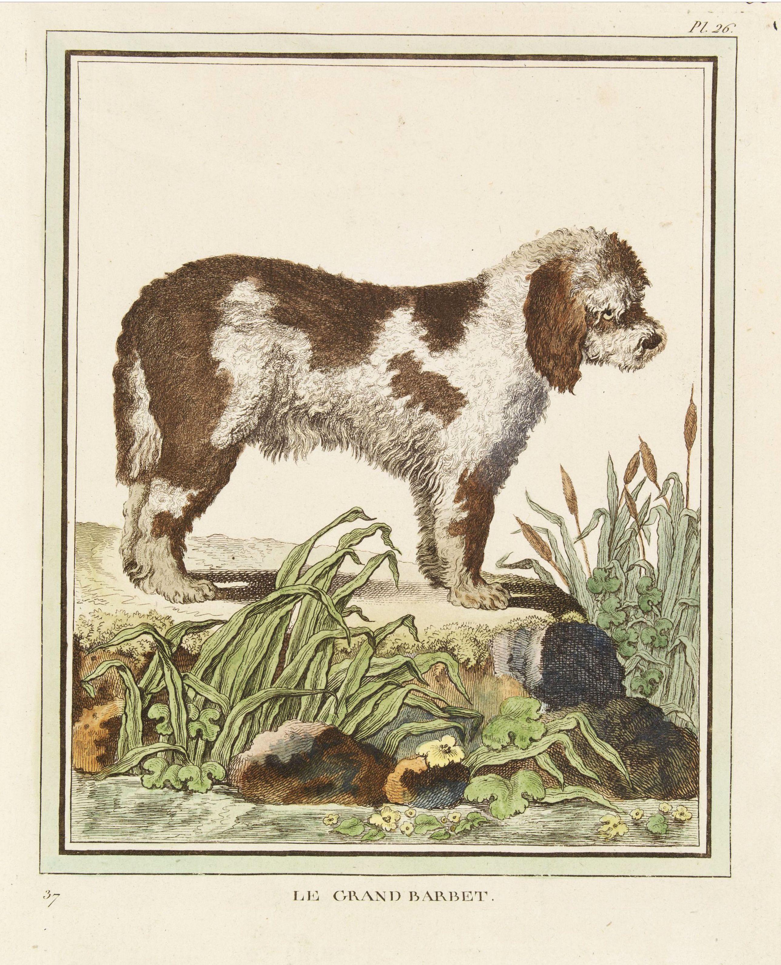 DE SÈVE, After Jacques (active 1742-1788) -  Le Grand Barbet [Pl. 26]
