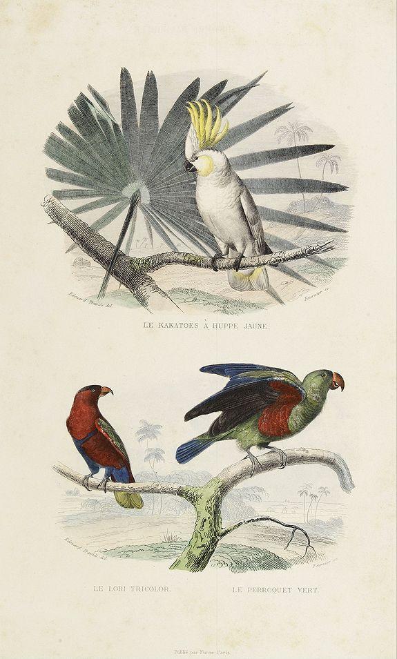 BUFFON, C. -  1) Le Kakatoës à Huppe Jaune. 2) Le Lori Tricolor. Le Perroquet Vert.