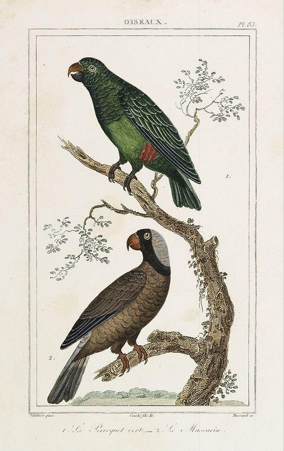 BUFFON, C. -  OISEAUX. 1. Le Perroquet vert  - 2. Le Mascarin.