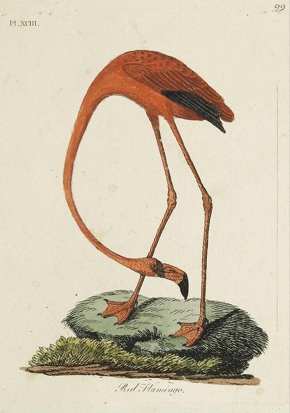 LATHAM, J.A.,  Red Flamingo., antique map, old maps