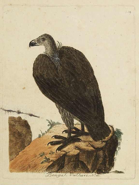 LATHAM, J.A.,  Bengal. Vulture, N.° 16., antique map, old maps