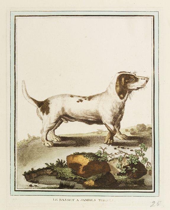 DE SÈVE, After Jacques (active 1742-1788) -  Le Basset A Jambes Torses.