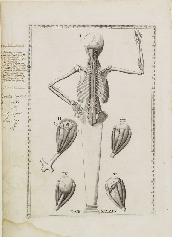 LANCISI, G.M. -  Anatomical print. TAB. XXXIX.