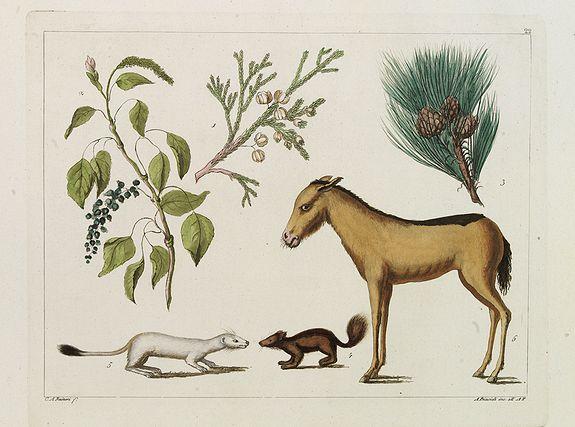 FERRARIO, G. -  [Fauna and flora - Siberia].