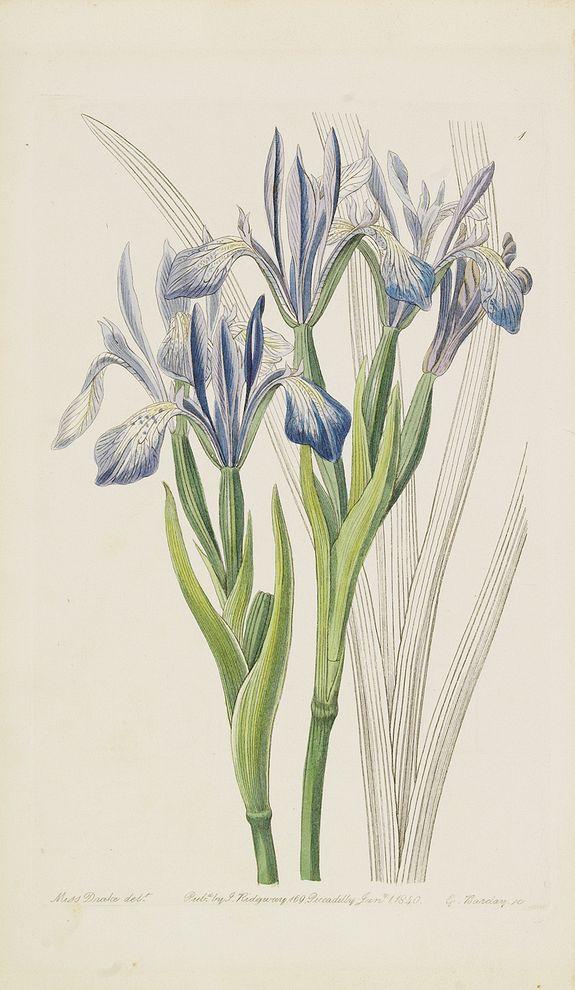 CURTIS, T. / RIDGWAY, J. -  [Irises].
