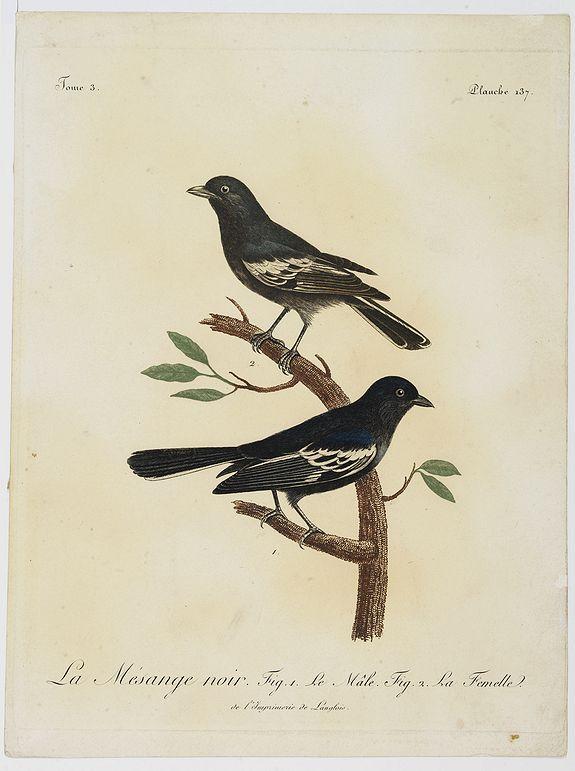 LEVAILLANT, F. -  La Mésange noir. Fig.1 Le Mâle. Fig.2. La Femelle.  Planche 137.