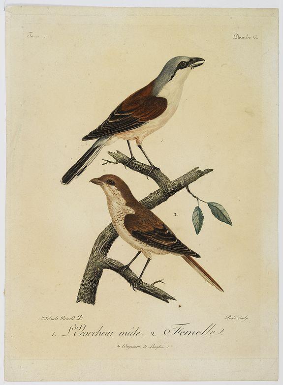 LEVAILLANT, F. -  1. L'Ecorcheur mâle. 2. Femelle.  Planche 64.