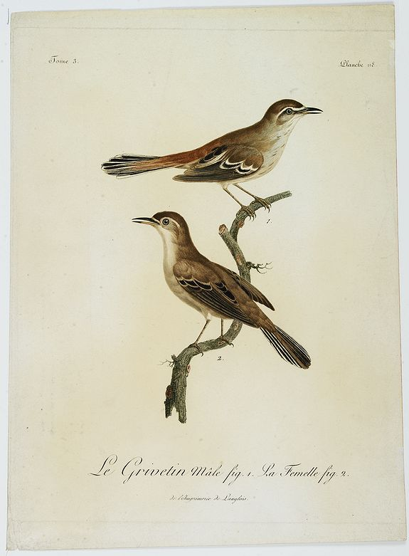 LEVAILLANT, F. -  Le Grivetin mâle fig. 1. La Femelle fig. 2. Planche 118.