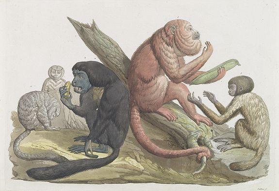 FERRARIO, G. -  [ Douroucoulis monkey of Spanish Guinea ].