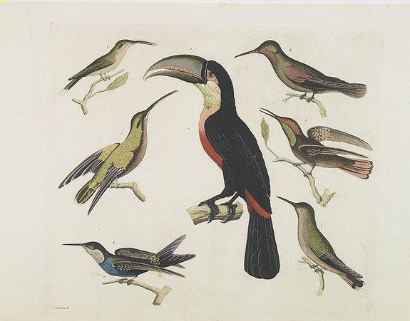 FERRARIO, G. -  [ Birds from Brazil ].