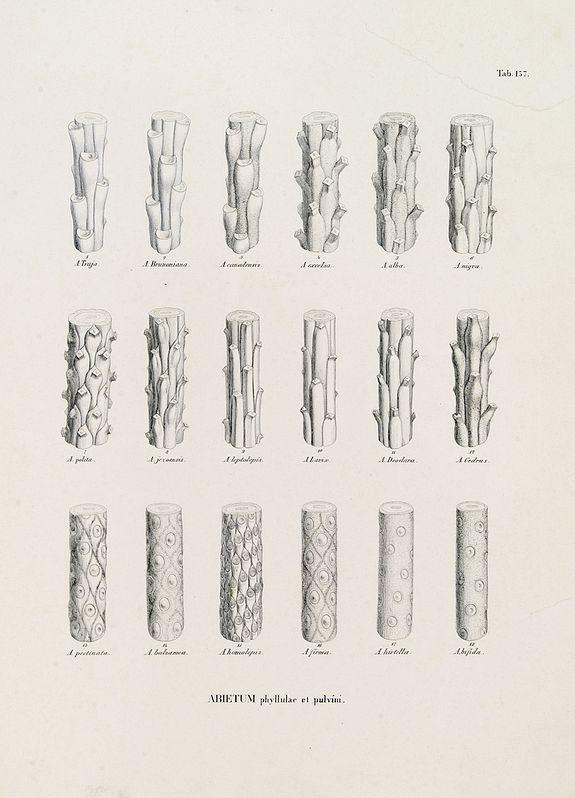 VON SIEBOLD, P.Fr.B. -  ABIETUM phyllulae et pulvini.s. Tab. 137.