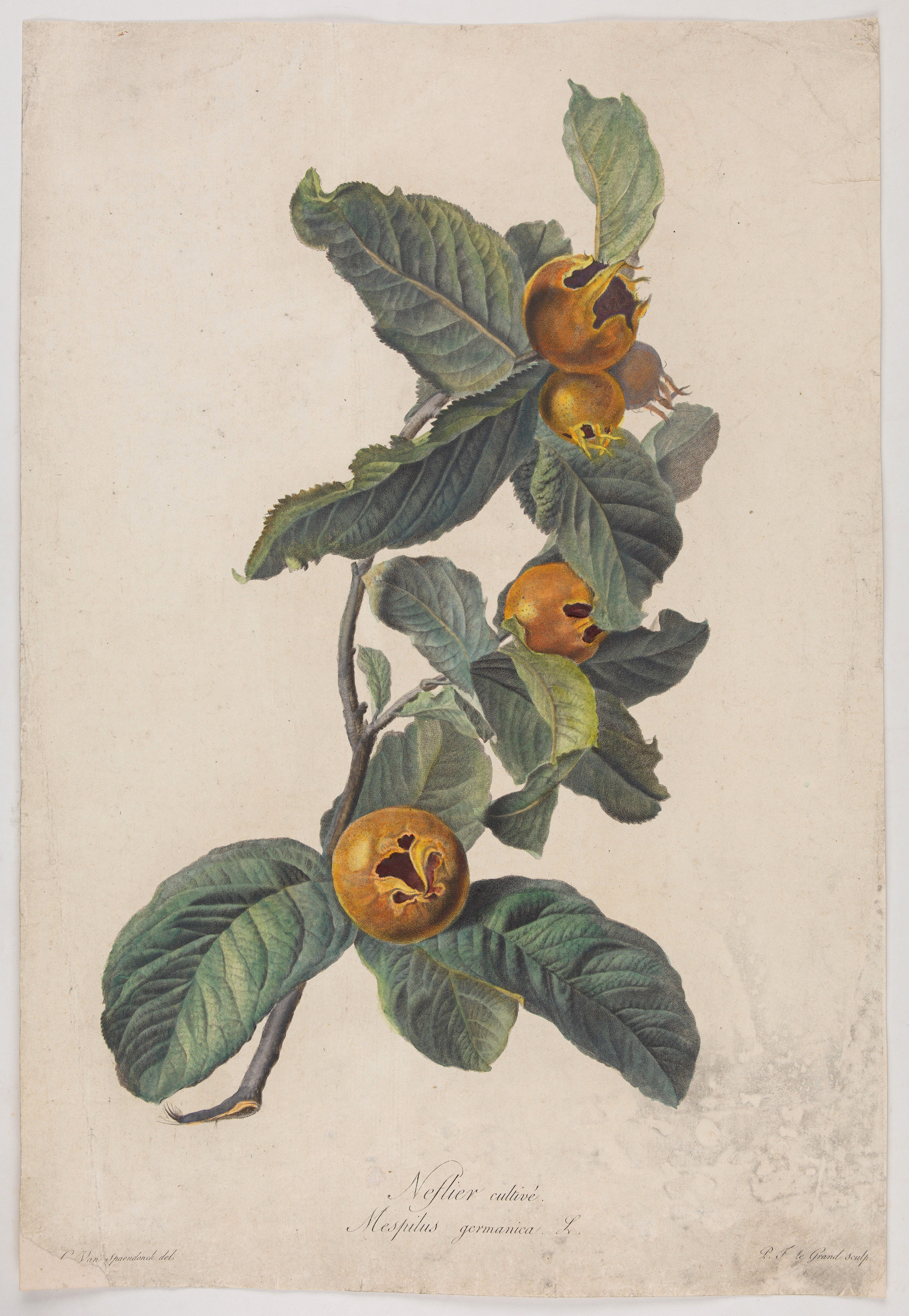 SPAENDONCK, Van. G. -  Neflier cultivé. Mespilus germanica. L.