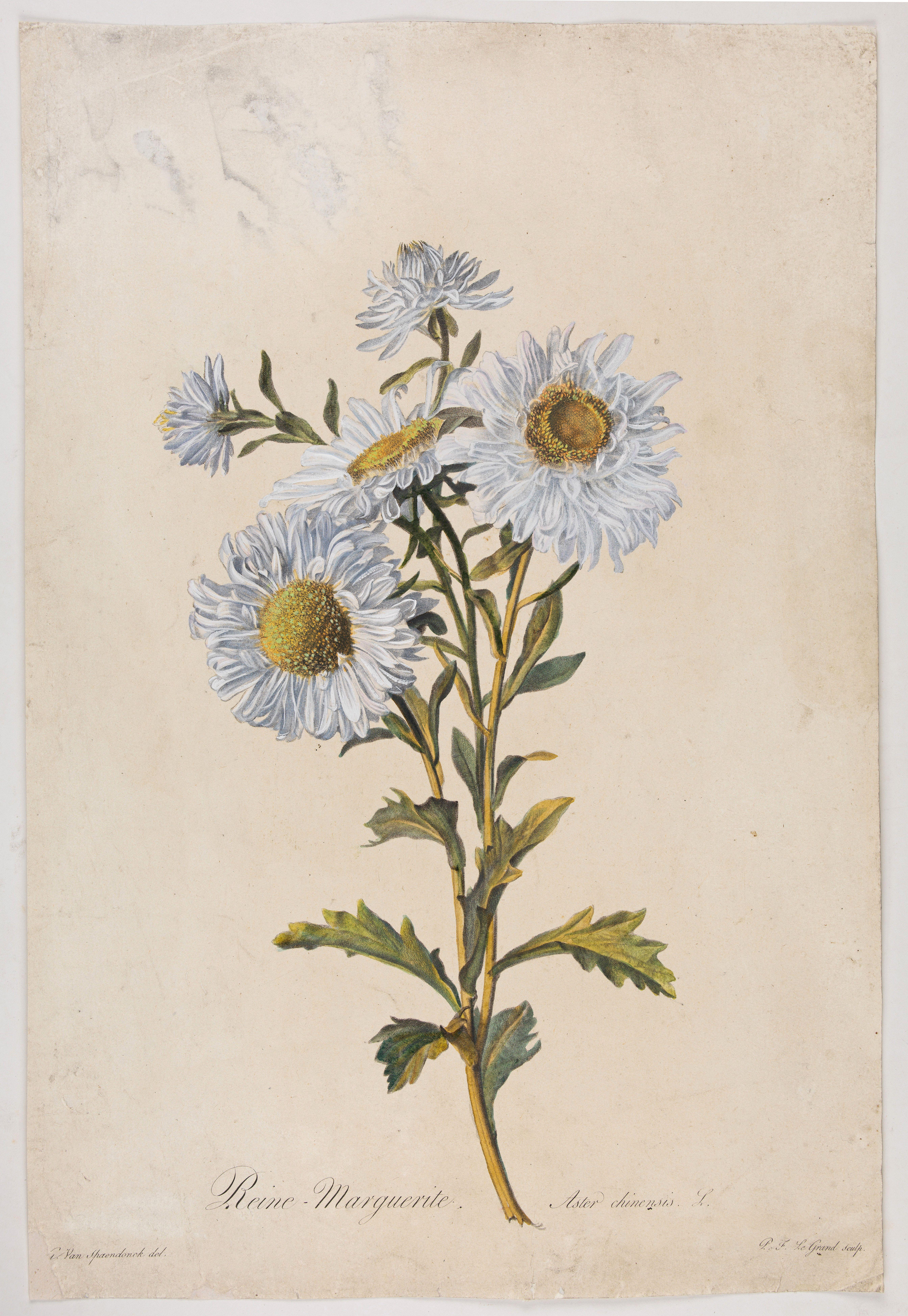 SPAENDONCK, Van. G. -  Reine-Marguerite.  Aster chinensis. L.
