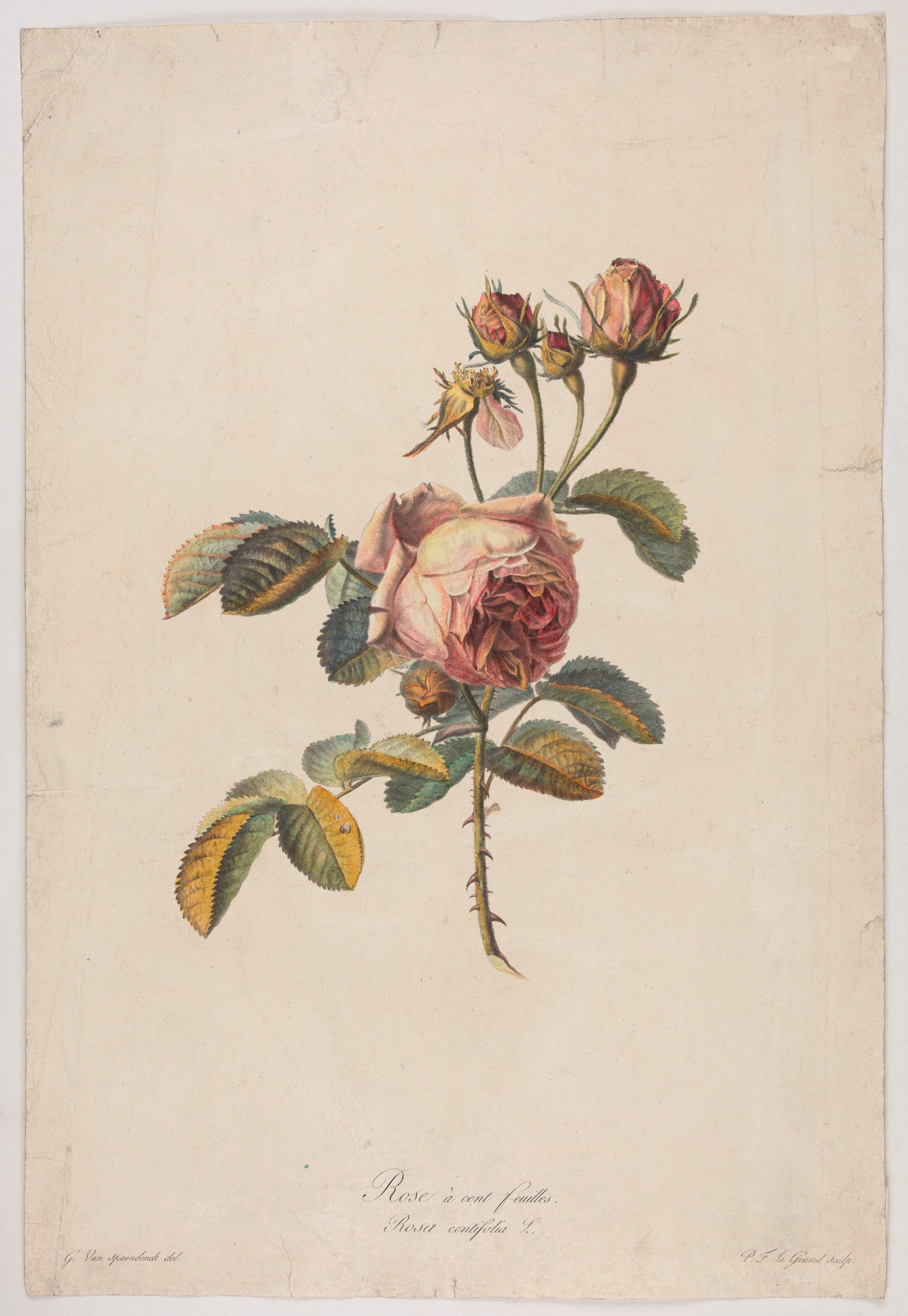 SPAENDONCK, Van. G. -  Rose à cent feuilles - Rosa contifolia L.