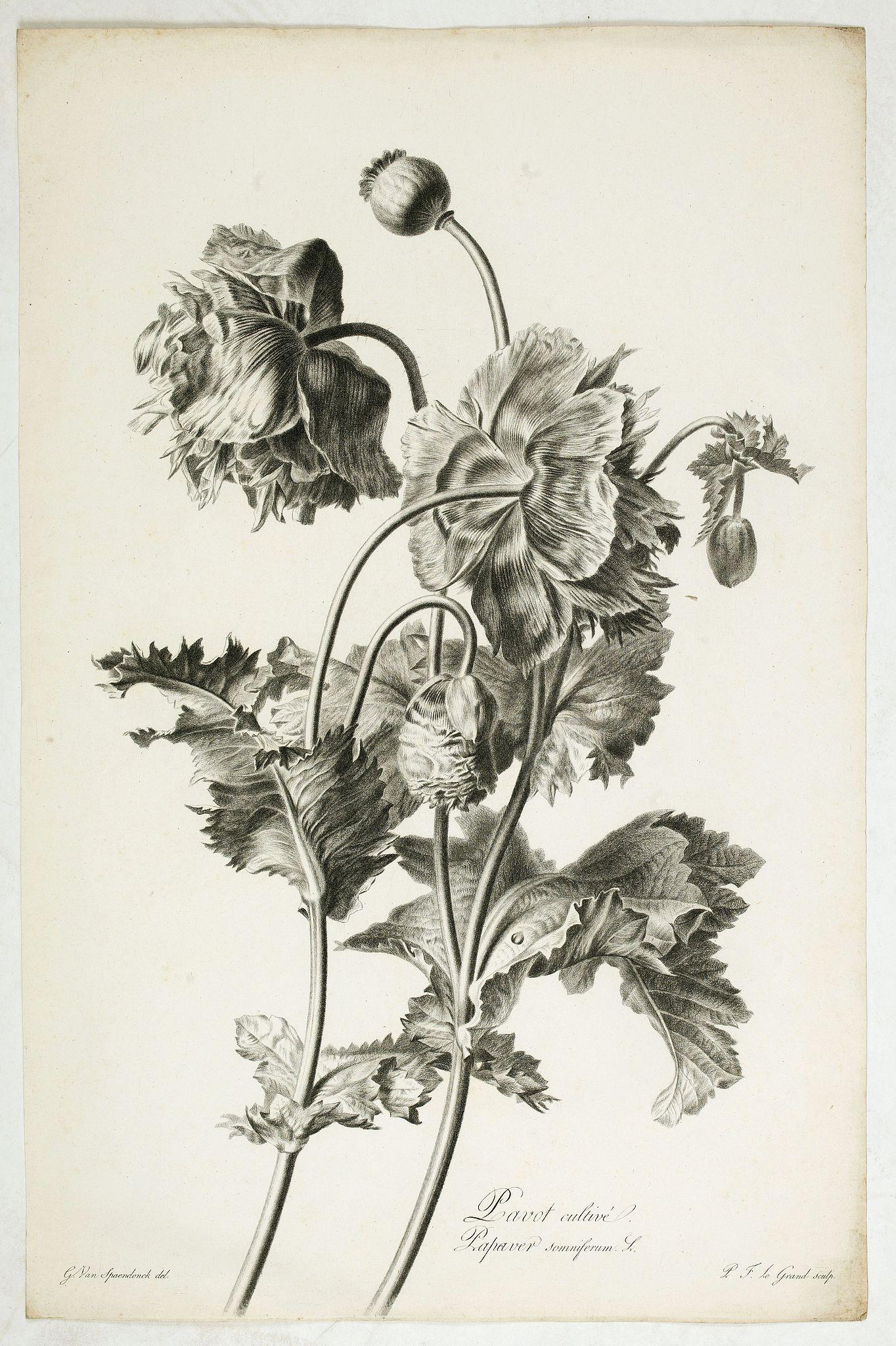 SPAENDONCK, Van. G. -  Pavot cultivé. Papaver somniferum L.