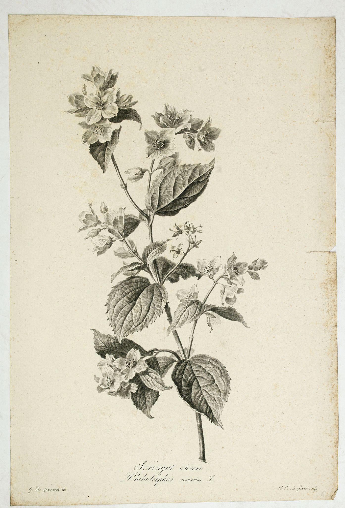 SPAENDONCK, Van. G. -  Seringat odorant - Philadelphus coronarius L.