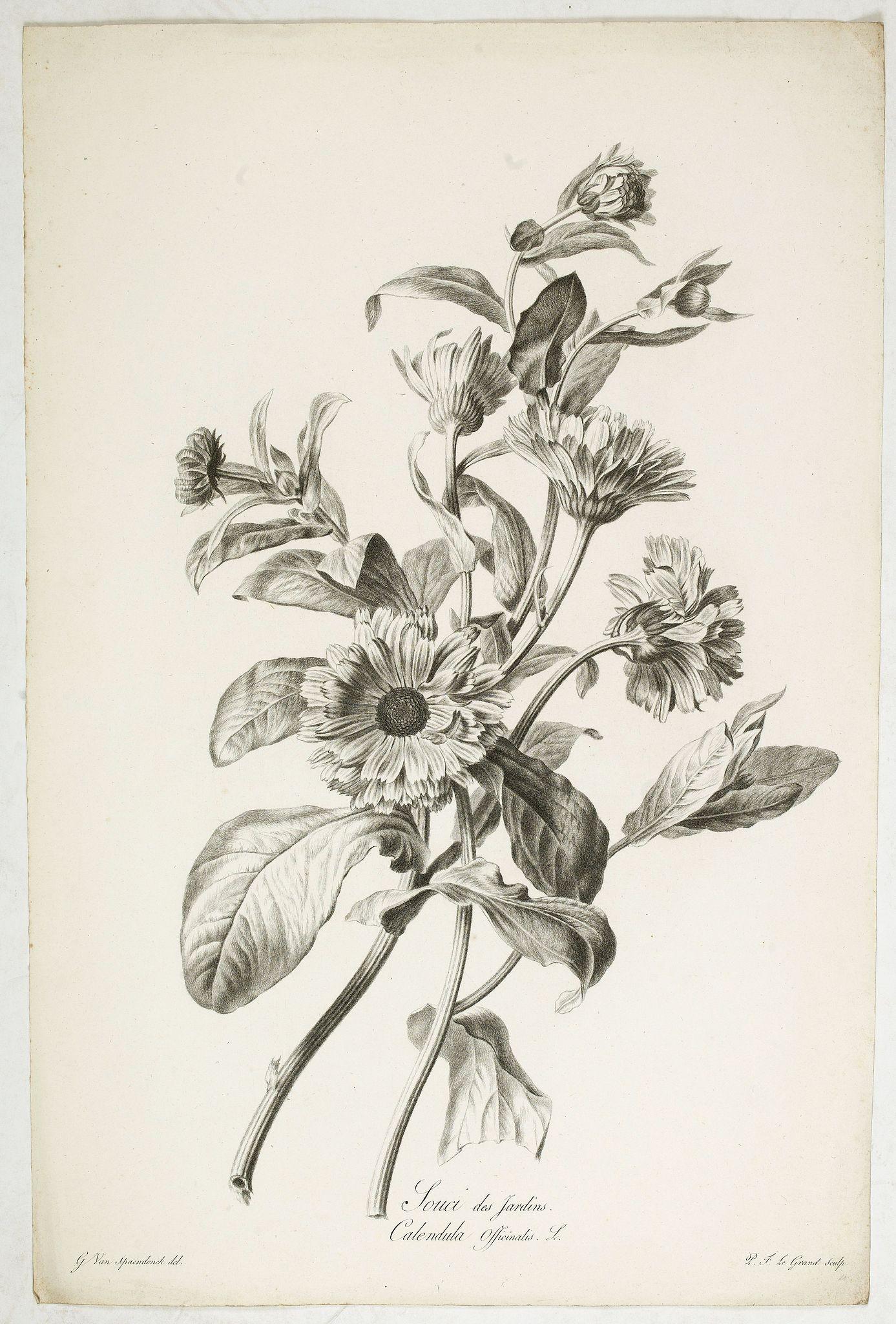 SPAENDONCK, Van. G. -  Souci des Jardins. Calendula Officinalis. L.