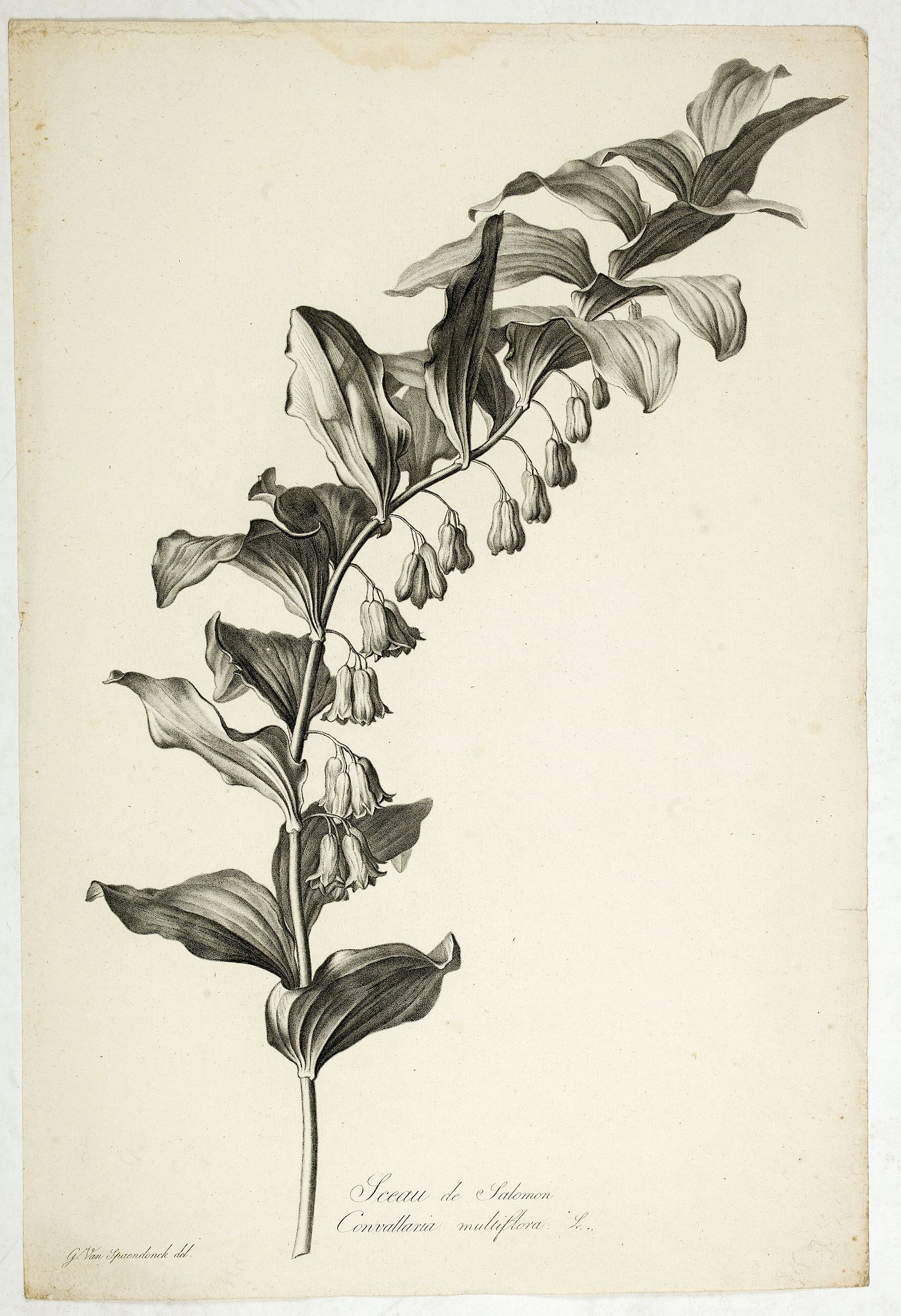 SPAENDONCK, Van. G. -  Sceau de Salomon. Convallaria multiflora L.