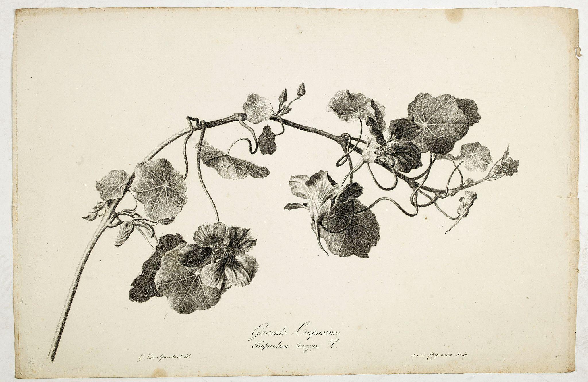 SPAENDONCK, Van. G. -  Grande Capucine. Tropaeolum majus. L.