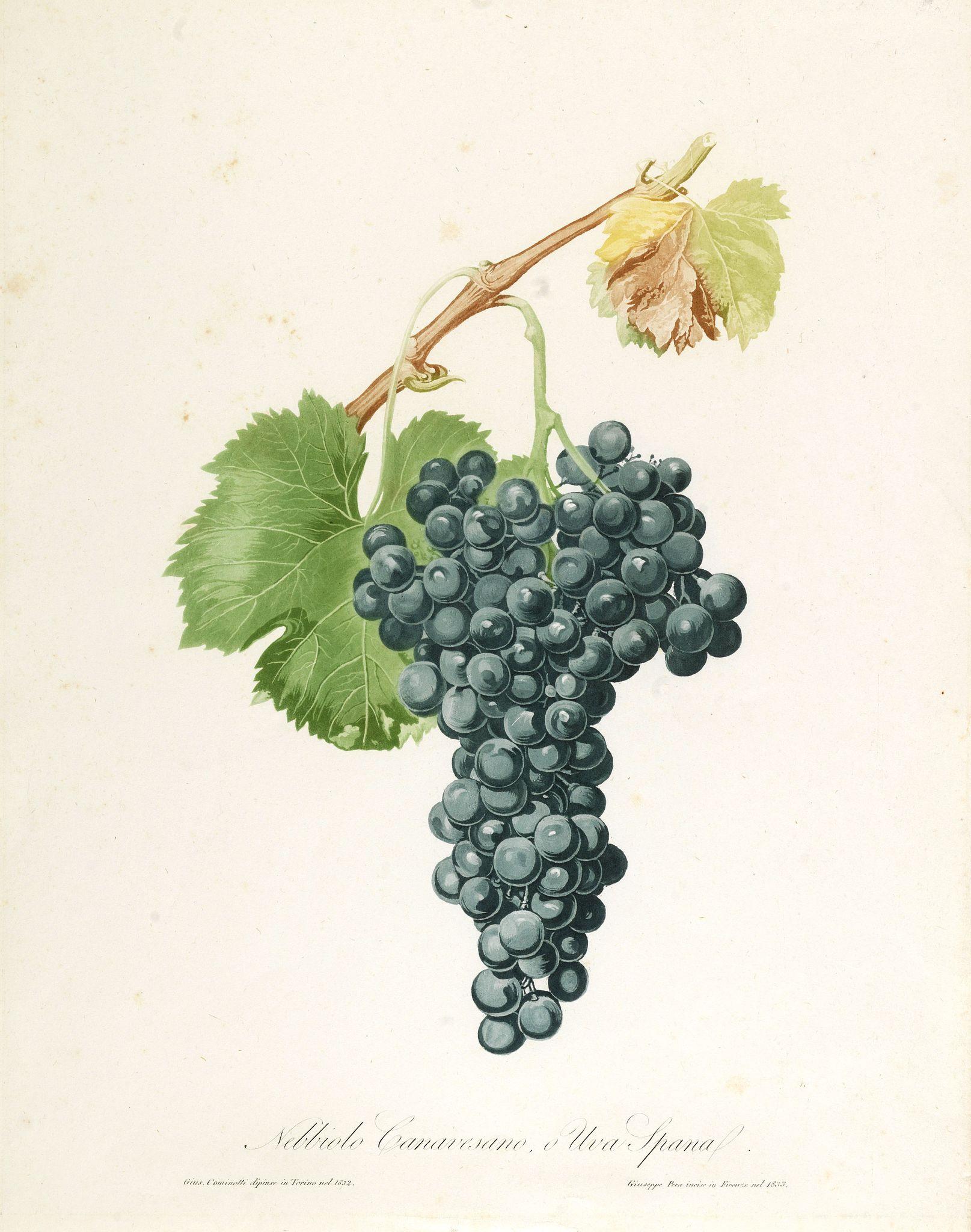 PERA, G. -  Nobiolo Canavesano, o uva Spanal.