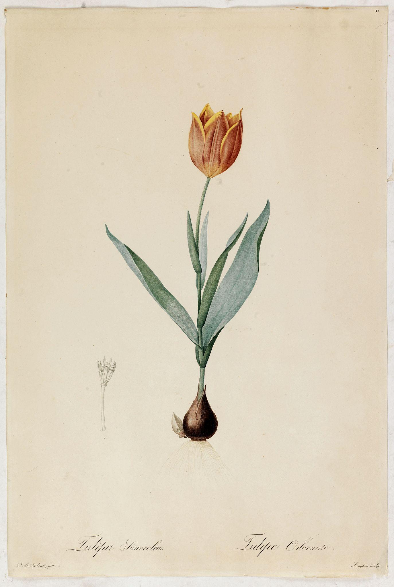 REDOUTÉ, P-J. -  Tulipa Suavéolens Tulipe Odorante.
