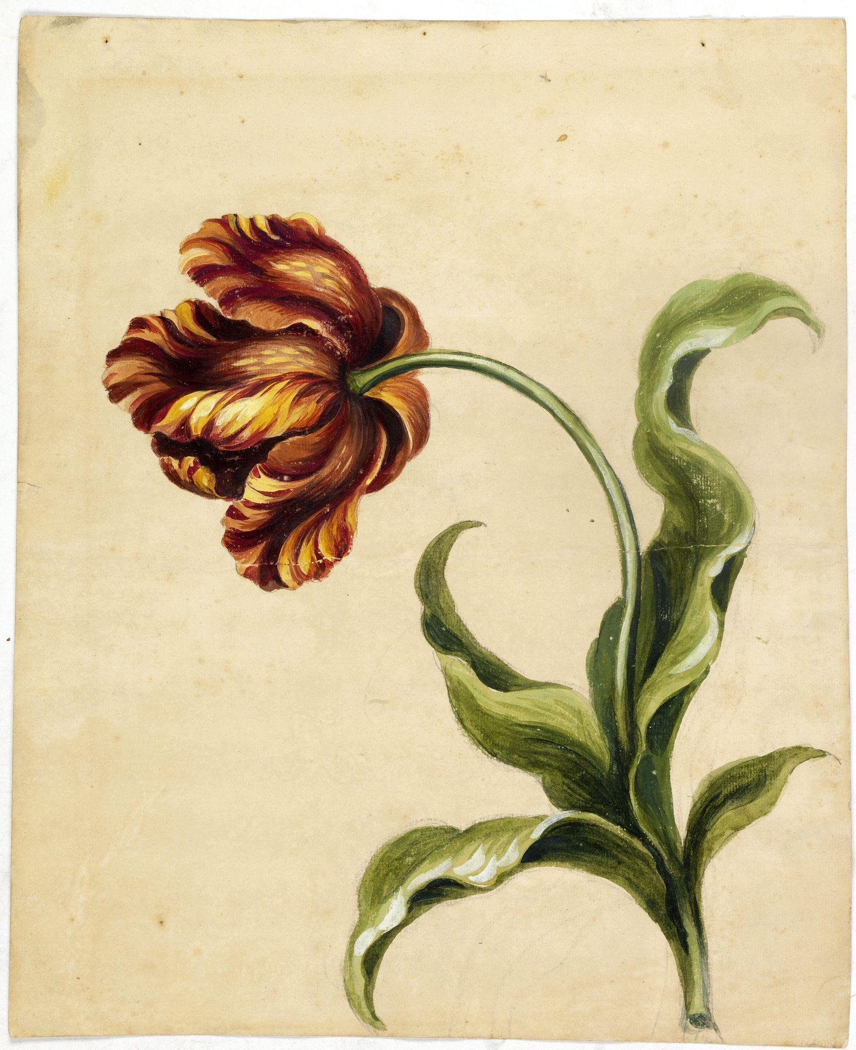 ANONYMOUS -  [Tulip.]