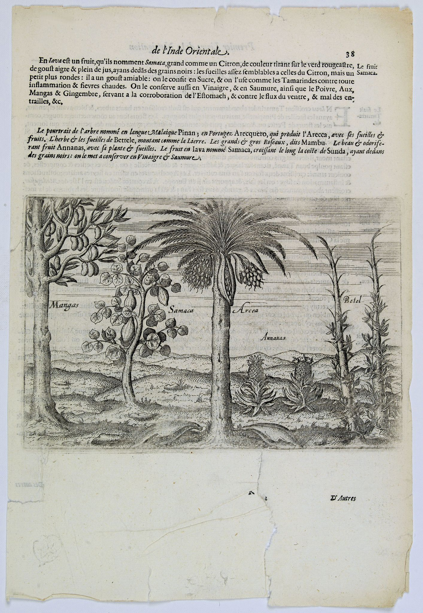 LODEWYCKSZ, Willem,  [Native Flora of Java]., antique map, old maps