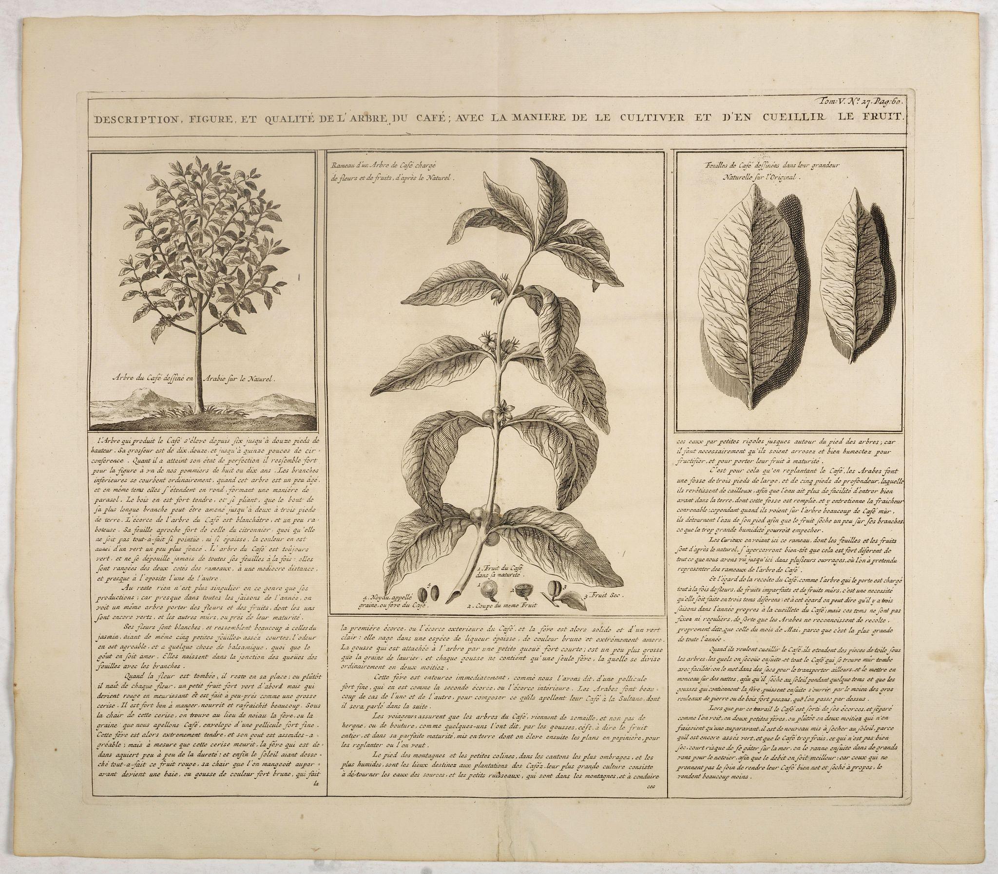 CHATELAIN, H. -  Description, figure et qualité de l'arbre, du café, avec la manière de le cultiver et d'en cueillir le fruit.