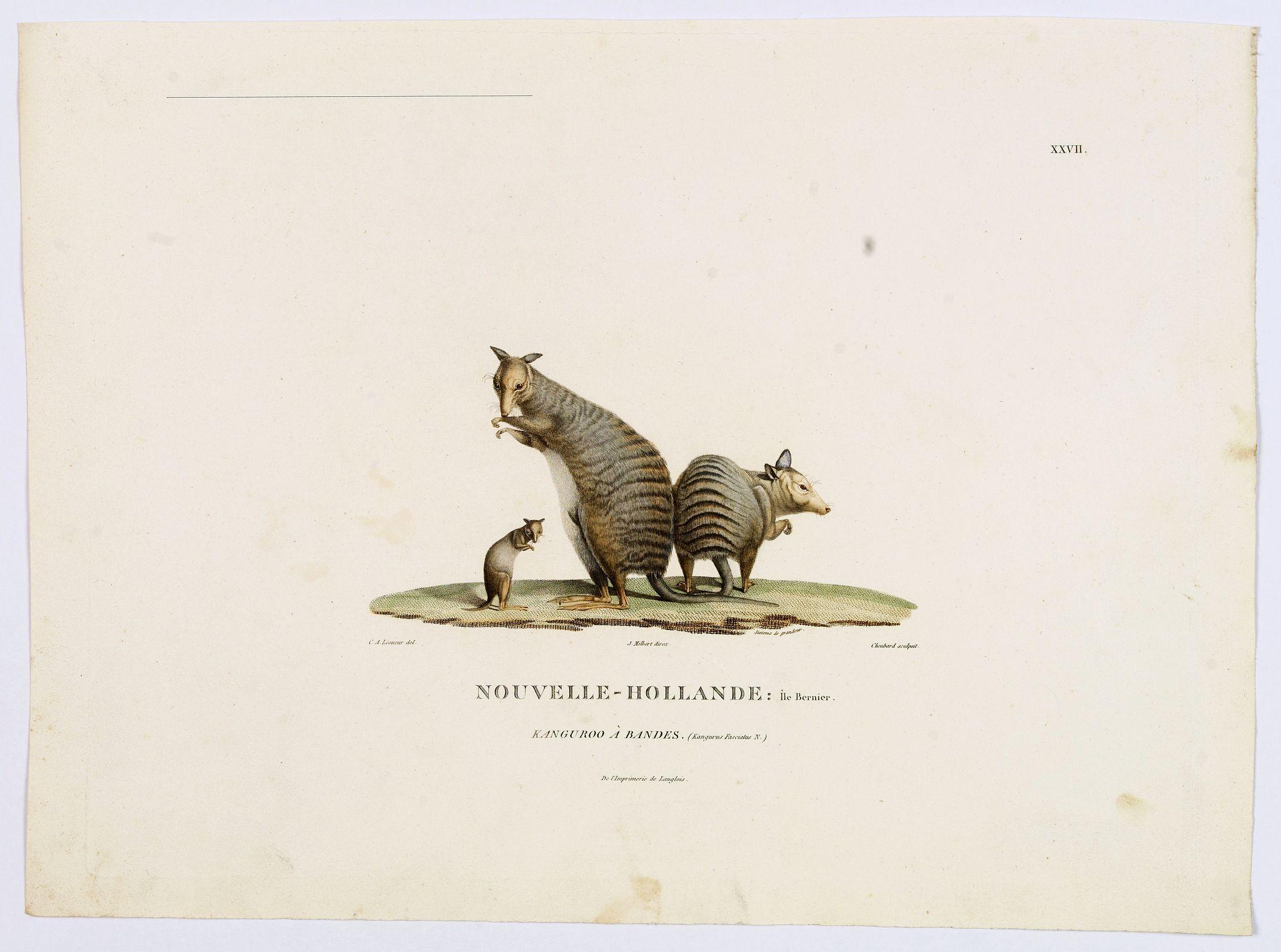LESUEUR, C-A. / PERON, F. -  Nouvelle-Hollande: Ile Bernier, Kanguroo a Bandes. [plate XXVII]