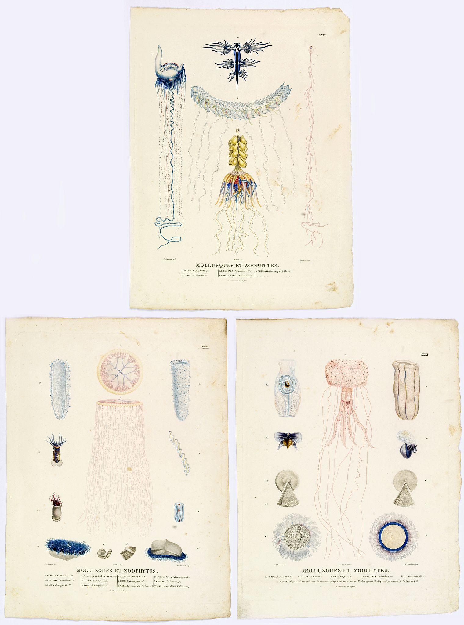 LESUEUR, C-A. / PERON, F. -  Mollusques et Zoophytes. [plates XIX, XXX, XXXI]