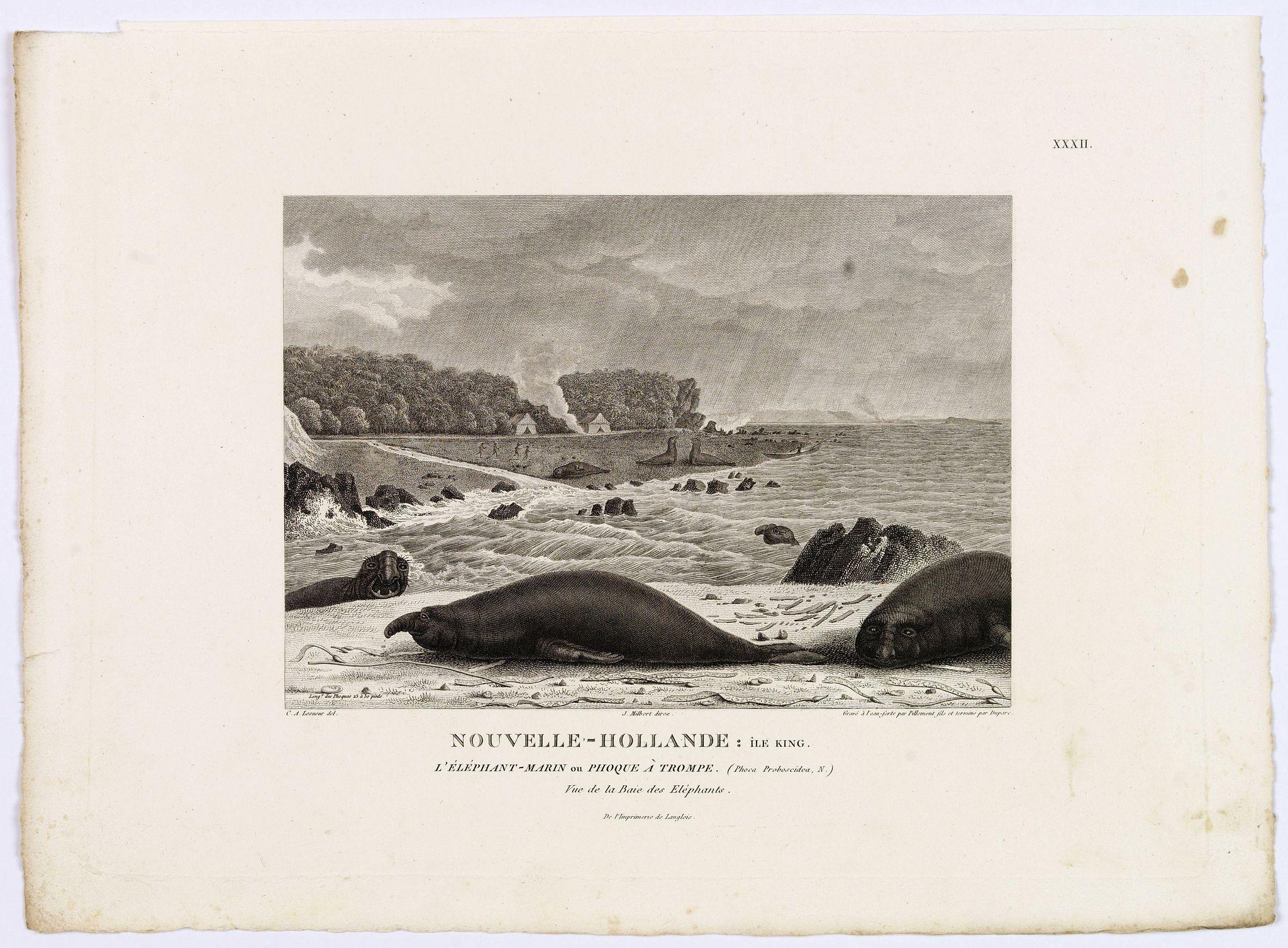LESUEUR, C-A. / PERON, F. -  Nouvelle-Hollande: Ile King. L'Elephant-Marin ou Phoque a Trompe. [plate XXXII]