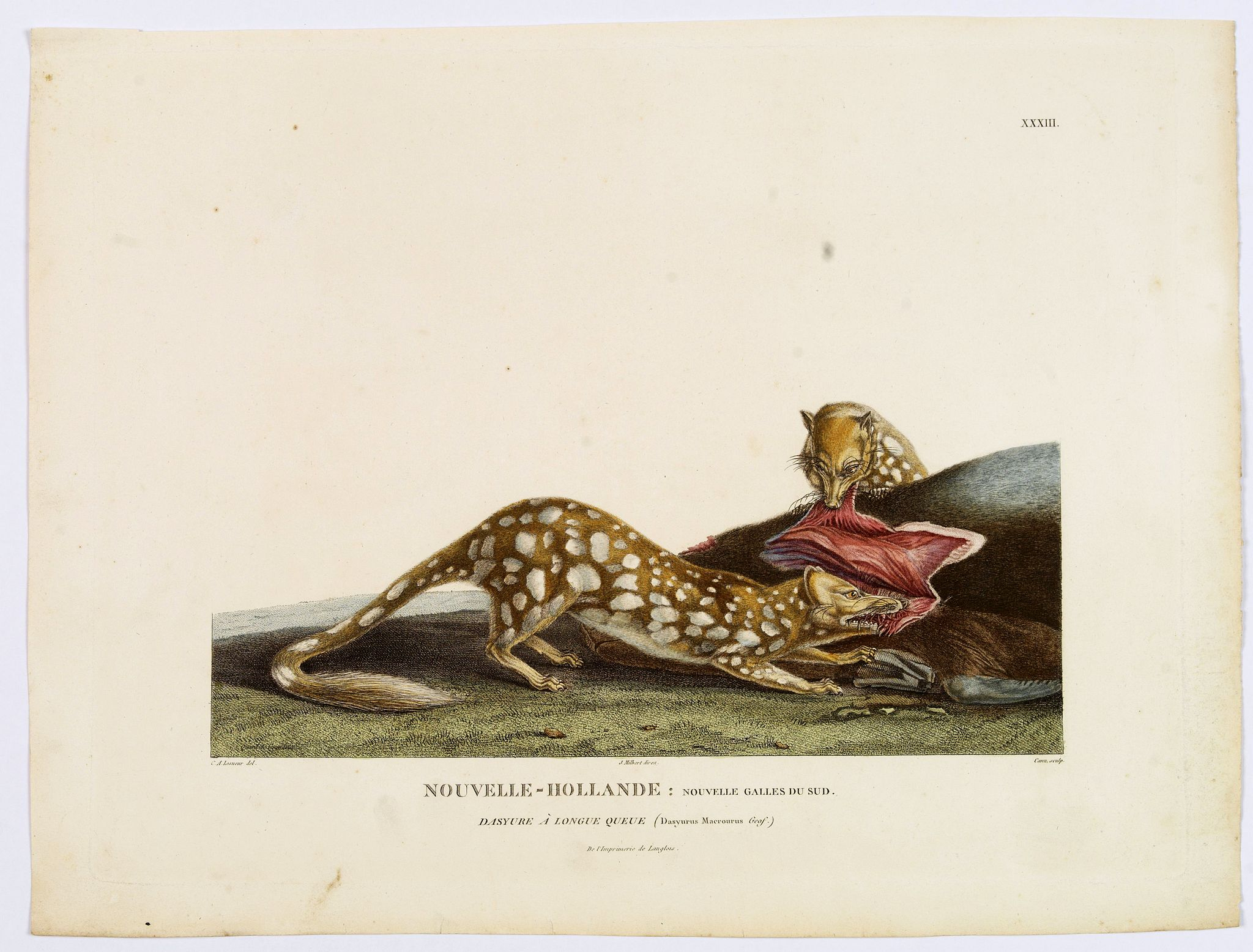 LESUEUR, C-A. / PERON, F. -  Nouvelle-Hollande: Nouvelle Galles du Sud. Dasyure a Longue Queue. [plate XXXIII]