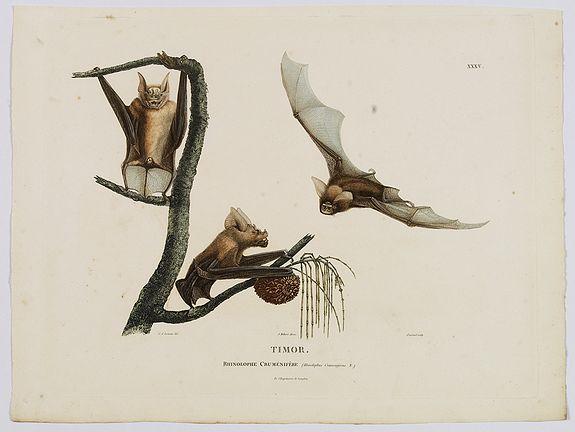 LESUEUR, C-A. / PERON, F. -  Timor. Rhinolophe Crumenifere. [plate XXXV]