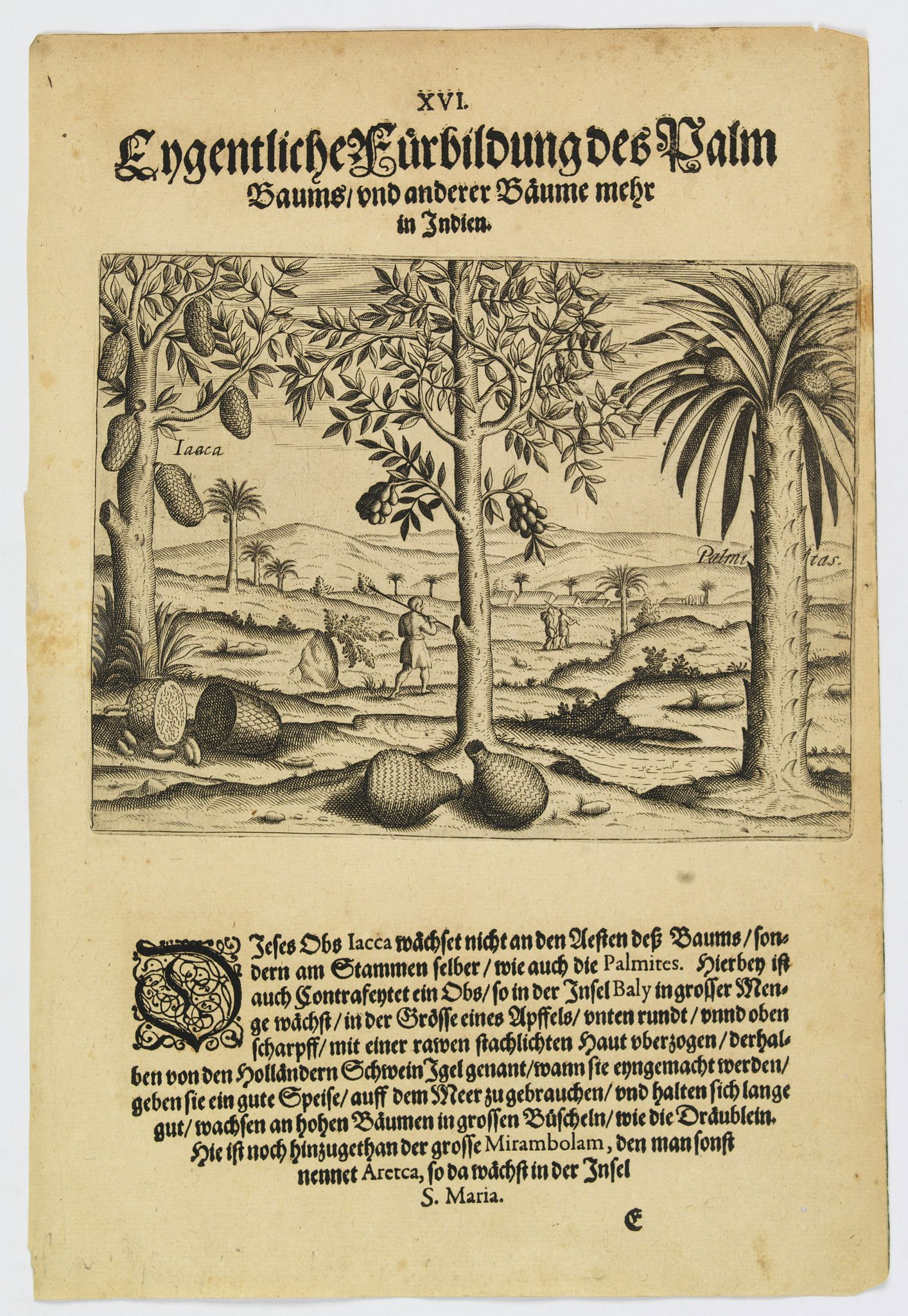 DE BRY, Th. -  A picture of various trees including the palm tree.