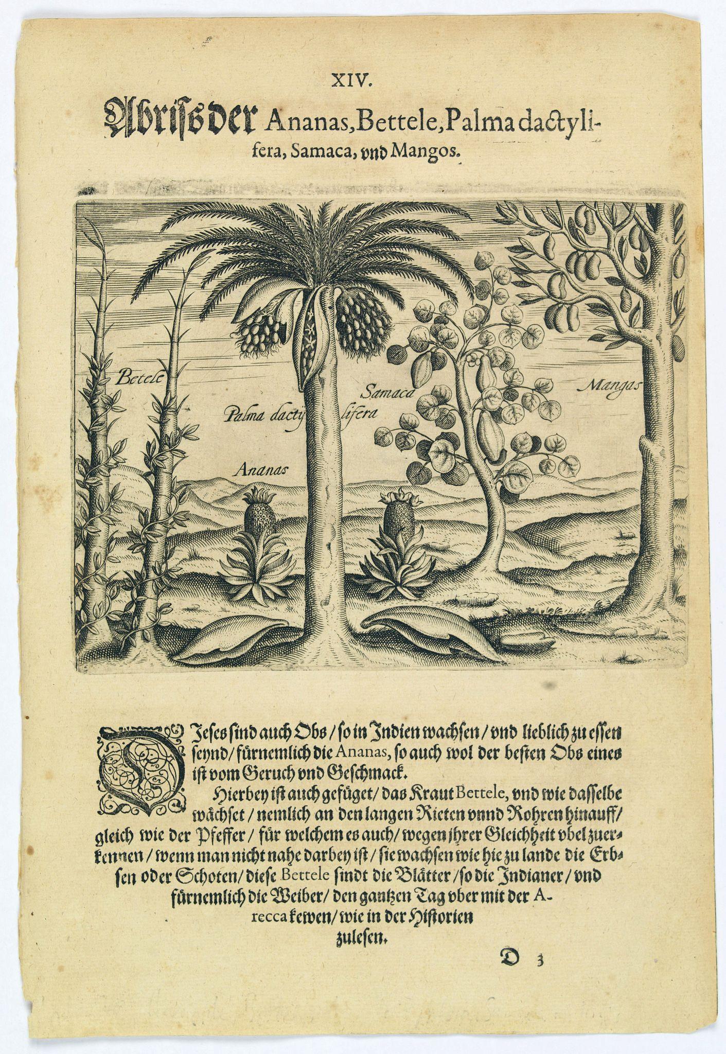 DE BRY, Th. -  Pineapple, Bettel, palma dactylifera, Samaca & Mango.