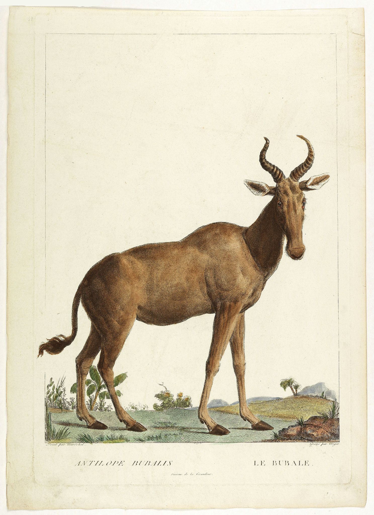 MIGER, S-C. -  Antilope Bubalis - Le Bubale - Sisieme de la grandeur. (Antilope)