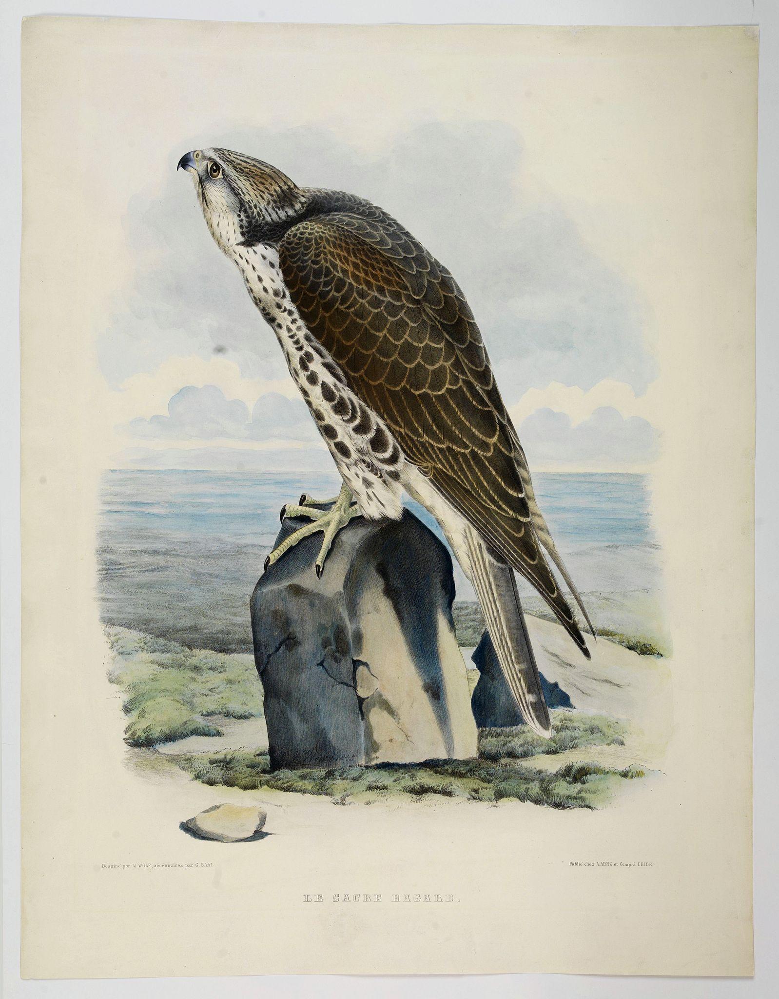 SCHLEGEL, ARNZ, A & COMP -  Le Sacre Hagard [Haggard-falcon]