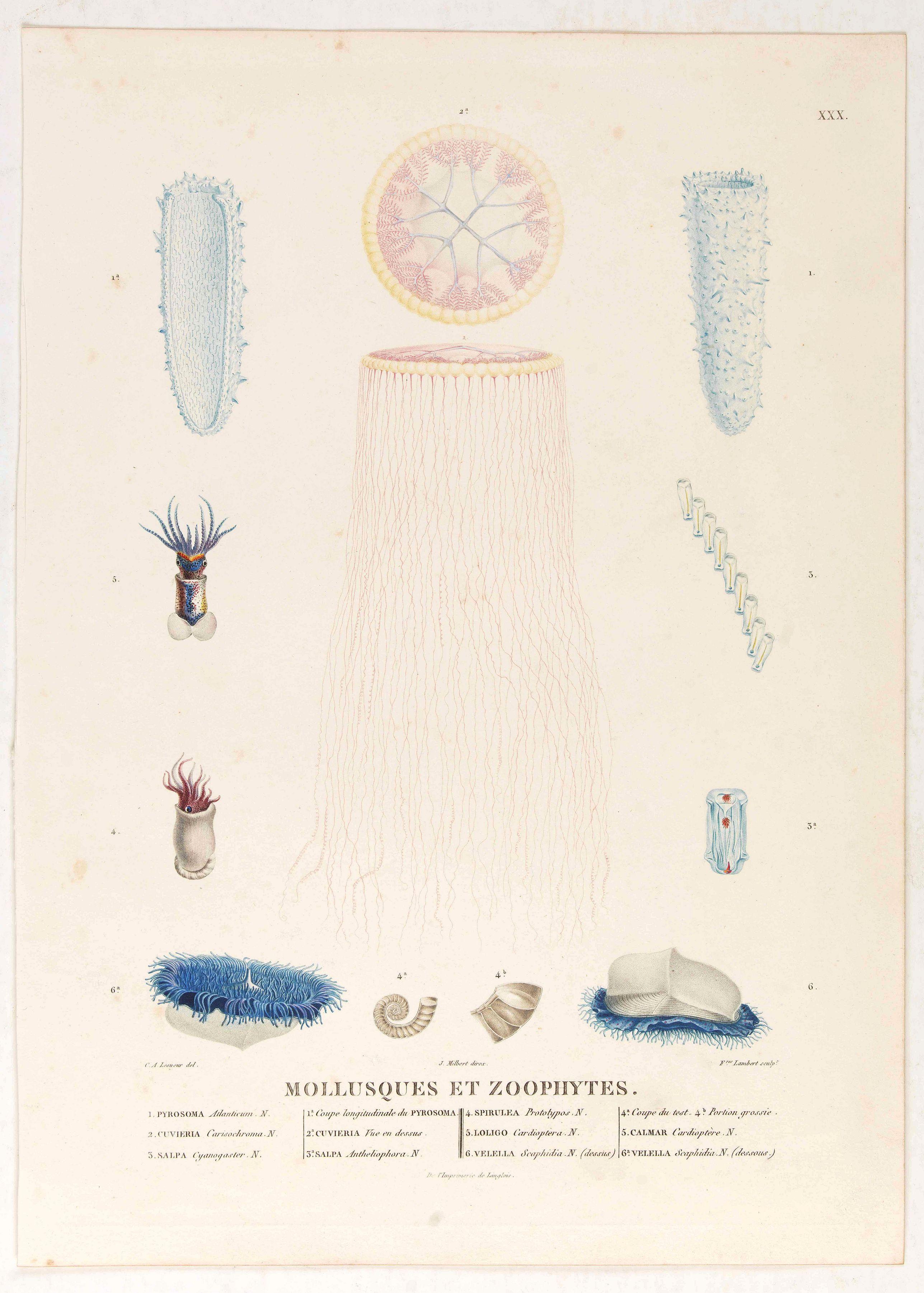 LESUEUR, C-A. / PERON, F. -  Mollusques et Zoophytes [plate XXX]