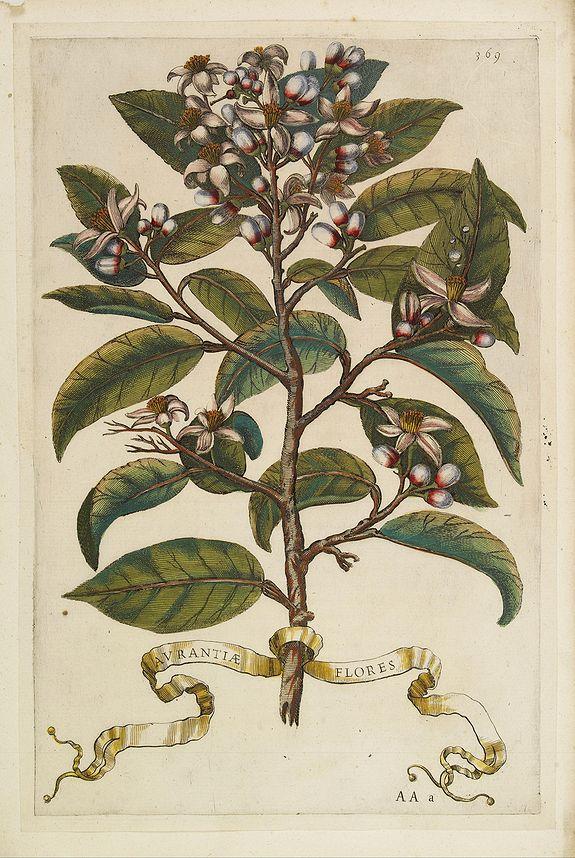 FERRARI, G. B. -  Aurantiae Flores.