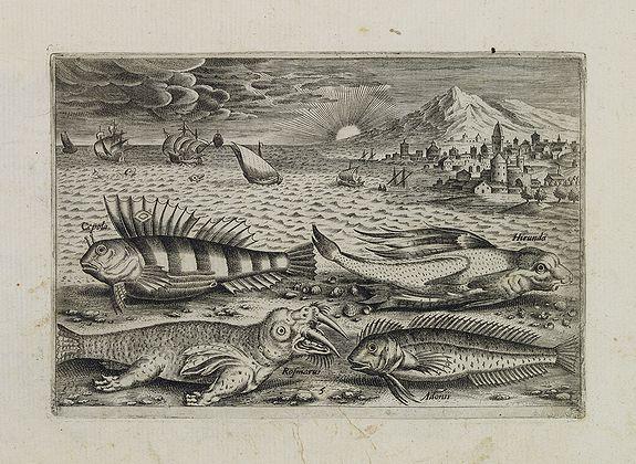COLLAERT, Adriaen (after) -  Cepola, Rosmarus, Adonis, Hirunda. (Piscium Vivæ Icones - Fish)