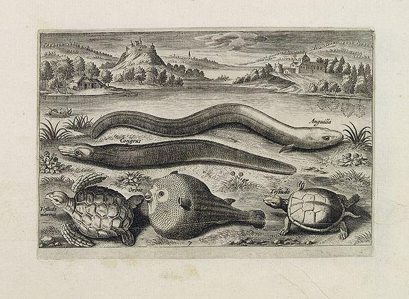 COLLAERT, Adriaen (after) -  Anguilla, Congrus, Orbis, Tesludo marina, Tesludo. (Piscium Vivæ Icones - Fish)