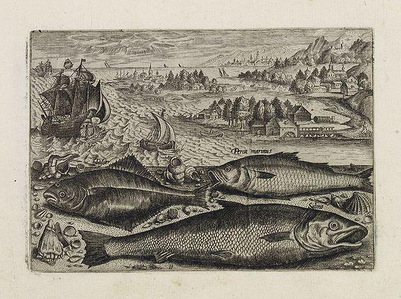 COLLAERT, Adriaen (after) -  Pusser, Percainus, Salino. (Piscium Vivæ Icones - Fish)