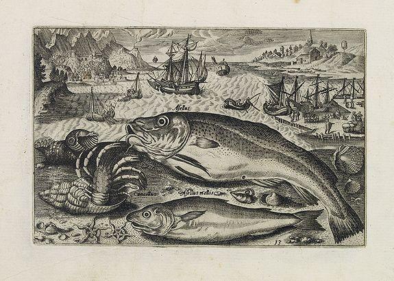 COLLAERT, Adriaen (after) -  Asellus, Cancellus, Asellus mollis. (Piscium Vivæ Icones - Fish)