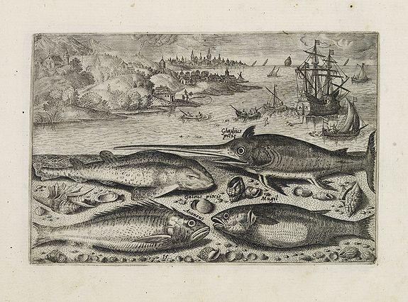 COLLAERT, Adriaen (after) -  Gladius piscis, Galeus piscis,  Araneus, Mugil. (Piscium Vivæ Icones - Fish)