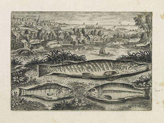 COLLAERT, Adriaen (after) -  Perca, Tinca piscis. (Piscium Vivæ Icones - Fish)